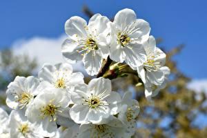 Картинки Цветущие деревья Белая Сакуры cherry-tree цветок