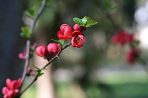 Фотографии Цветущие деревья Размытый фон Розовых Ветки quince tree Цветы