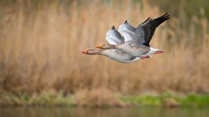 Фото Гуси Птицы Вдвоем Летят Боке Животные
