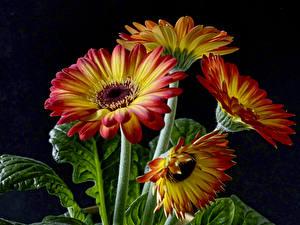 Обои Гербера Вблизи На черном фоне цветок
