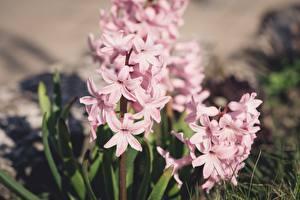 Картинки Гиацинты Боке Розовый Цветы