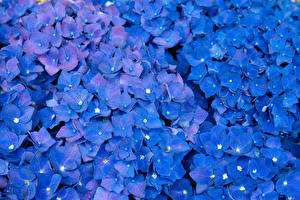 Фотография Гортензия Много Синяя цветок