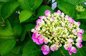 Обои Гортензия Розовая Листва цветок