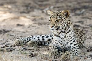 Фотография Леопард Лежа Лап Усы Вибриссы Смотрит kgalagadi leopard