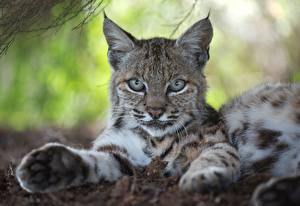 Фотографии Рыси Лапы Смотрит Лежат Животные