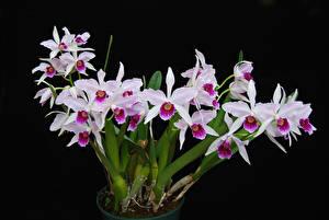 Картинка Орхидеи Черный фон цветок