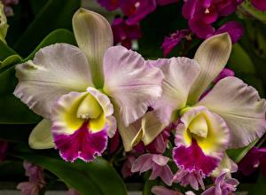 Обои Орхидея Крупным планом Цветы