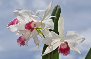 Картинка Орхидея Вблизи Белая цветок
