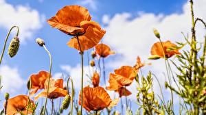 Картинки Мак Бутон Красный цветок
