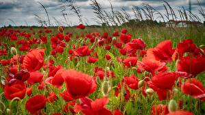 Картинки Маки Луга Красный Цветы