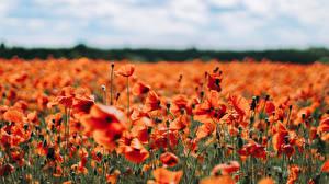Фотография Мак Много Поля Красная Боке цветок