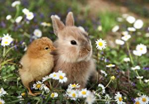 Картинки Кролики Цыплята Ромашки