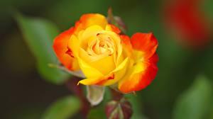 Картинка Роза Крупным планом Желтый Боке цветок