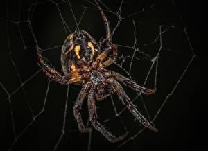 Фото Пауки Крупным планом Насекомые На черном фоне Паутина Araneus животное