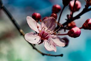 Обои Весенние Сакуры Боке Розовая цветок