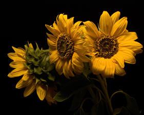 Картинки Подсолнечник Крупным планом На черном фоне Трое 3 Желтые цветок