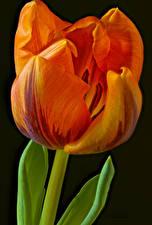 Картинка Тюльпан Вблизи На черном фоне Оранжевых цветок