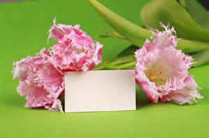 Фотография Тюльпаны Вблизи Шаблон поздравительной открытки Трое 3 Розовых цветок