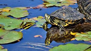 Картинки Черепахи Вода Пруд животное