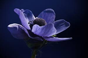 Фотография Ветреница Вблизи Синий Цветы
