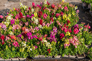 Фотографии Антирринум Много Разноцветные цветок
