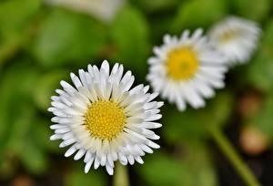 Фотографии Маргаритка Вблизи Боке Белая цветок