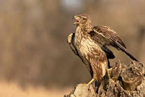 Картинки Птица Пне Боке Buteo buteo, Common buzzard животное