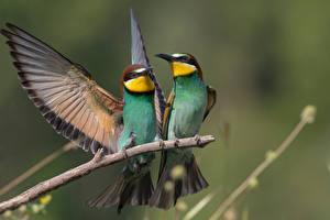 Фото Птицы На ветке Две Крылья Merops apiaster Животные