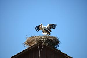 Фото Птица Аисты Гнезда животное