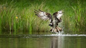 Фото Птица Воде Ястреб Крылья Брызги животное