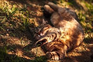 Обои Коты Спящий Отдыхает Лап Лежа Alexey Latysh животное