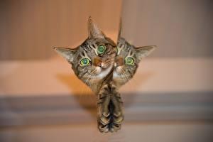 Обои для рабочего стола Коты Смотрит Головы Лапы Отражение Животные