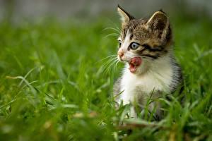 Картинки Коты Котенок Языком Траве животное
