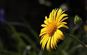 Фотография Крупным планом Размытый фон Желтый Argyranthemum Frutescens, marguerite daisy Цветы