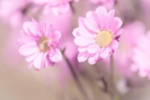Фотографии Вблизи Ромашка Боке Розовая цветок