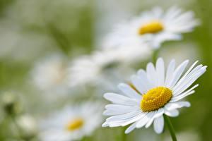 Фото Крупным планом Ромашки Боке Белая цветок