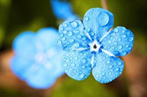 Фото Крупным планом Макросъёмка Незабудка Голубая Голубой Цветок Цветы