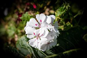 Фото Крупным планом Белый Боке Pelargonium цветок