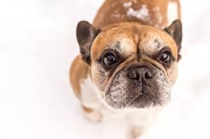 Картинка Собака Французский бульдог Белом фоне Морды животное