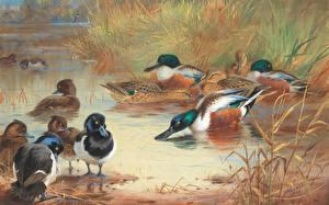 Фото Утка Рисованные Живопись Archibald Thorburn, Scottish painter, Shoveler and Tufted Duck