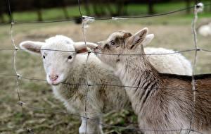 Картинки Коза козел Ограда 2 животное