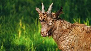 Картинки Коза козел С рогами Животные