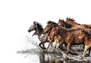 Картинки Лошади Вода Бежит Брызги Белый фон животное