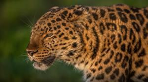 Фотографии Леопарды Голова Морда Усы Вибриссы Животные