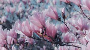 Обои для рабочего стола Магнолия Вблизи Ветки Розовая Цветы
