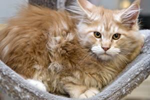Фотография Мейн-кун Кошки Пушистый Животные