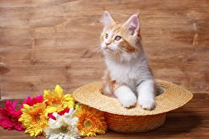 Фотографии Мейн-кун Шляпы Котенок Смотрит животное