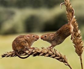 Фото Мыши 2 Колосок Harvest Mouse животное