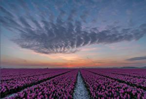 Фото Нидерланды Рассвет и закат Поля Тюльпан Много Небо Фиолетовая Goeree-Overflakkee цветок Природа