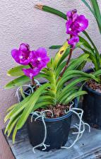 Фотографии Орхидеи Цветочный горшок Фиолетовая цветок